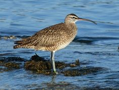 Whimbrel (Numenius phaeopus) (first seen in Point Reyes, CA in May 2013)