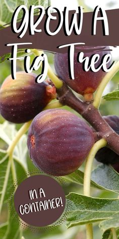 What you need to know about planting figs, fig tree care, & growing an indoor fig tree. The pretty tropical foliage & sweet harvest make them hard to beat. Veg Garden, Edible Garden, Easy Garden, Garden Ideas, Vegetable Gardening, Growing Fig Trees, Growing Plants, Growing Vegetables, Indoor Fig Trees