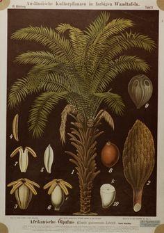 Afrikanische Olpalme (Elaeis guineensis L.)