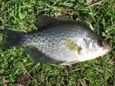 Best Lures and Rigs for Crappie Fishing by daybreak