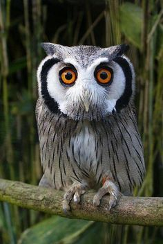 White faced Scorps owl by royspiccys...
