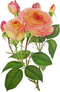 "Photo from album ""винтажные розы"" on Yandex. Images Vintage, Art Vintage, Shabby Vintage, Vintage Flowers, Botanical Flowers, Botanical Illustration, Botanical Prints, Flower Prints, Flower Art"