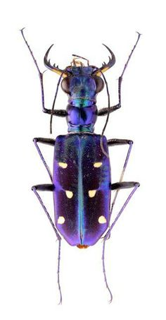 Thopeutica (Wallacedela) hirofumii Plus Beetle Insect, Beetle Bug, Insect Art, Cool Insects, Bugs And Insects, Especie Animal, Cool Bugs, Beautiful Bugs, Hans Christian