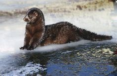 Minks and weasels are members of the mustelid animal family. Mustelidae share a few basic characteristics. One commonality among mustelids is the possession of anal scent glands that release a musty substance the animals use for defense and territorial marking. Weasels, minks and other Mustelidae -- including martens, fishers, ferrets, polecats, wolverines and badgers -- differ in size, habitat and diet; but all are carnivores, and most are aggressive and seemingly fearless animals.