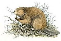 Image result for beaver drawing outline
