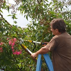 The red flowering gum (Corymbia ficifolia) and its colourful cultivars is one of the world's most spectacular trees when in full bloom, but it needs regular pruning for the best flowers. Continue reading →