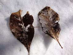 Photograph Skeleton Leaves on Snow OOAK Photo 4 x by ByLightOfMoon, $5.00