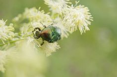 #macro #insect  #beetle #summer #nature #sony #flowers