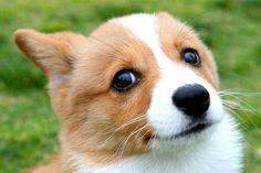 Beautiful Corgi Eyes