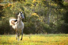Klassical Devotion MI (Klass x Mulawa Kiara) 2012 grey mare bred by Mulawa Arabian Stud