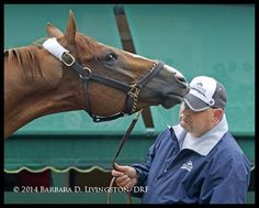 California Chrome plays with Alan Shermans hat the day before the Preakness.  (Barbara Livingston photo)