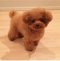 This is a teacup poodle,and what I have heard is that they have many health problems. I think it is adorable, but I don't have enough time for a sickly dog. They are really just overly tiny toy poodles, and if you want something just as smart and cute and Cute Dogs And Puppies, I Love Dogs, Doggies, Pet Dogs, Cute Baby Animals, Animals And Pets, Cortes Poodle, Tiny Toy Poodle, Toy Poodle Puppies