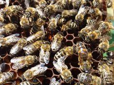 Apicultura în vreme de criză de coronavirus asezonată cu ordonanță militară Bees, Beekeeping