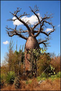 ˚Baobab Tree Madagascar