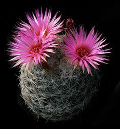 Escobaria vivipara var. radiosa (G.Engelmann) D.R.Hunt 1978 (sensu S.Brack)  (forma SB 926 Kerr County, Texas, U.S.A.) min.temp.<-25°C/<-13°F full sun, magenta pink flower, alkaline soil