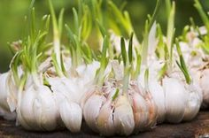 Česnek. Zelené špičky rašící z česneku by do jídla byly nepoužitelné, jsou moc hořké. Pokud už stroužky nejde použít, dejte je do sklenice s trochou vody a nechte nať povyrůst – pak už bude poživatelná Foto: