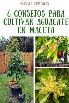 Top 6 Consejos Para Plantar Aguacate En Maceta Cosas Del Jardin Aguacate Cultivar Aguacate Planta árbol De Aguacate