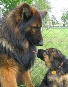 Long Hair German Shepards | Really?