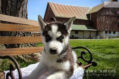 Steve Husky: Siberian Husky puppy for sale near Akron / Canton, Ohio Huskies For Sale, Husky Puppies For Sale, Husky Puppy, Siberian Husky For Sale, Canton Ohio, Dogs, Animals, Animales, Animaux