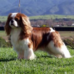 King Charles Cavalier Spaniel. So gorgeous! ~~ I know this is a show dog but I hope Will is this pretty when he grows up <3