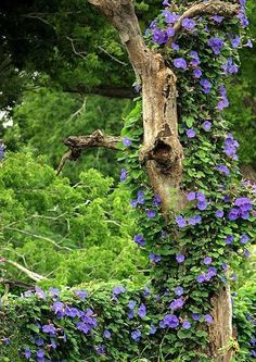 Clematis growing up a snag - a perfect reason to leave at least 12-15ft. of a dead tree standing - for garden interest and wildlife. #gardenvinesmorningglories