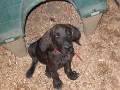Plott hound   Flickr - Photo Sharing!