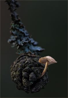 Baeospora Myosura Mushroom by Frank Moser