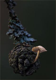 ^Baeospora Myosura Mushroom by Frank Moser