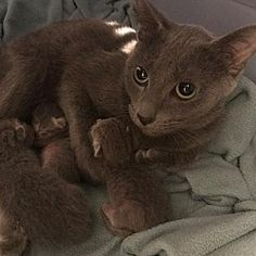 Pictures of Adriel a Domestic Shorthair for adoption in Princeton, MN who needs a loving home.