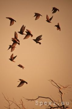 Sant'Antioco: flying starlings