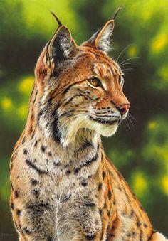 Drawing of a lynx by EsthervanHulsen.deviantart.com on @DeviantArt