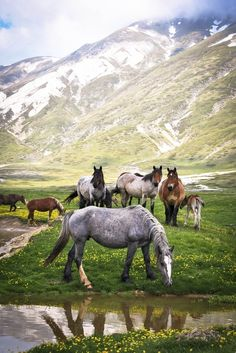 Oh my gosh, that blue roan is gorgeous.  Wild Horses ~ Gran Sasso, Italy.    /  Absolutely love this picture EL. Most Beautiful Animals, Beautiful Horses, Black Horses, Horse Pictures, Creatures, Animals And Pets, Pony Express, Fairy, Giraffes
