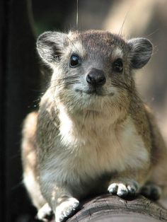 Meet the Hyrax. The small-hoofed mouse like creature that gives me many points on Words with Friends