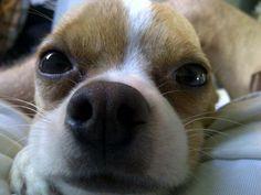 Where did my ears go? Boston Terrier, Ears, Animals, Animales, Animaux, Boston Terriers, Animal, Animais