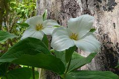 Large Flowered Trillium (Trillium grandiflorum) : Prairie Nursery : Native Plants
