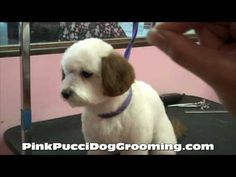 Maltipoo Ryu Gets a Japanese Style Dog Grooming Makeover with Color at the Pink Pucci Dog Grooming Salon.