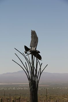 It's time for Raptor Free Flight at the Arizona Sonora Desert Museum each day at 10:00am and 2:00pm, but this raptor flies all year.