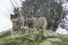 Lobo ibérico, foto de referência