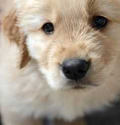 Golden puppy!