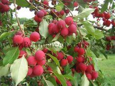 Jardin jasmin acer palm trompenburg h 2 3m l 1 5 2m - Maladie de l olivier mousse blanche ...