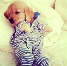 Cute doesn't even begin to describe this labrador puppy in jammies! www.DogVacay.com
