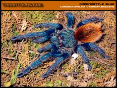 Greenbottle Blue Tarantula. This one's gonna play a part in the horror novel I eventually write. And NOT as the Big Bad Scary Evil Spider because Greenbottles are PRETTY!