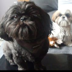 Heathrow and Lola, got to love a Shih Tzu.