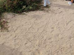 Galapagos, Santa Cruz:  land iguana tracks in sand.