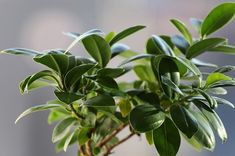 Types of ficus trees for indoors and outdoors. Including ficus tree plant care (with pictures). Ficus Pumila, Ficus Elastica, Ficus Microcarpa Ginseng, Bonsai Ficus, Indoor Plants For Oxygen, Trees To Plant, Plant Leaves, Yucca, Chlorophytum