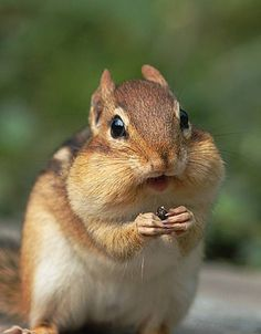 The chipmunk probably stuffed another peanut in its other cheek. Description from pinterest.com. I searched for this on bing.com/images