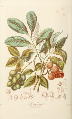 28-Sapindus juglandifolius. Melicocca bijuga. Nephelium Litchi. Cardiospermum anomalum. Sapindus frutescens. Urvillea glabra. Ophiocaryon paradoxum.      ...