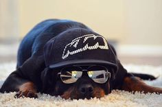 Before the bankers came and took charge of our money, the Rottweiler, a German dog breed, had already tasted what it is like to be the protector of money. Big Dogs, I Love Dogs, Puppy Love, Cute Dogs, Dogs And Puppies, Doggies, Rottweiler Pictures, Rottweiler Dog, Hipster Dog