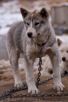 Canadian Eskimo Dog, Inuit Sled Dog, Alaskan or Mackenzie River Husky