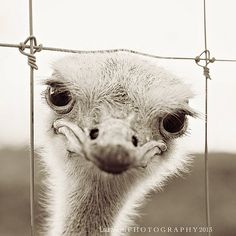 Animal Photography - Ostrich Photograph - Bird Nature Wildlife - Black and White - Home Decor - Fine Art Photography - Laura Ruth